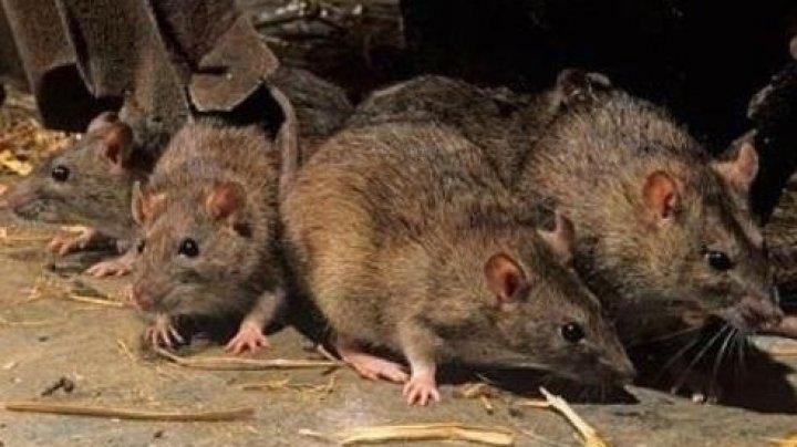 Carantina a transformat Londra într-un paradis al șobolanilor. Numărul rozătoarelor ar fi ajuns să fie dublu față de cel al oamenilor
