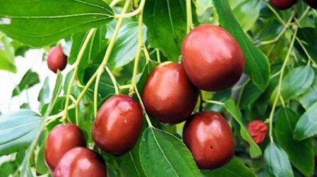 Fructul exotic Ziziphus, plantat pe melegurile Moldovei. E o bombă de vitamine şi ajută la tratarea mai multor maladii