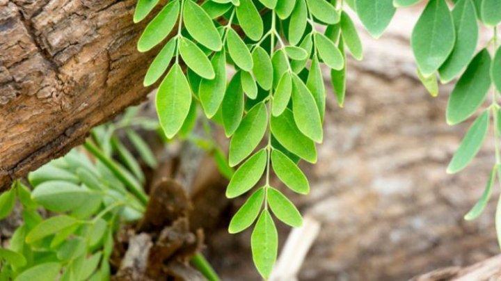 """""""Copacul lui Dumnezeu"""". Alimentul care conține aproape toate vitaminele și mineralele din lume"""