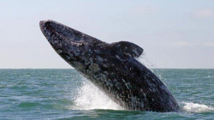MOMENT EMOŢIONANT! Ce face o mamă balenă cu puiul ei când vede o barcă a turiștilor (VIDEO)