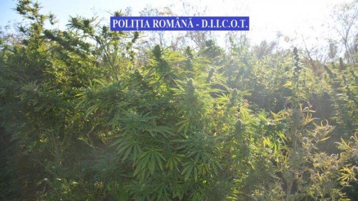 CAPTURĂ RECORD de cannabis în România. Valoarea drogurilor se ridică la 4 MILIOANE de euro
