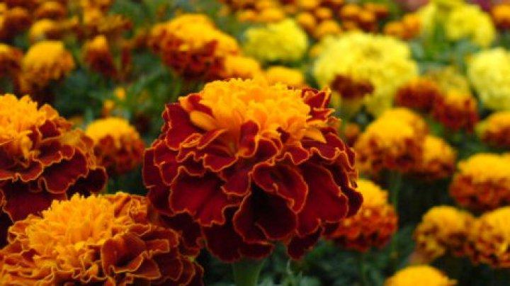 Floarea minune din ogradă. Utilizeaz-o cât mai des în perioada rece a anului
