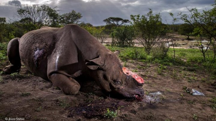 Fotografie şocantă cu un rinocer măcelărit, premiată la Wildlife Photographer of the Year (FOTO)