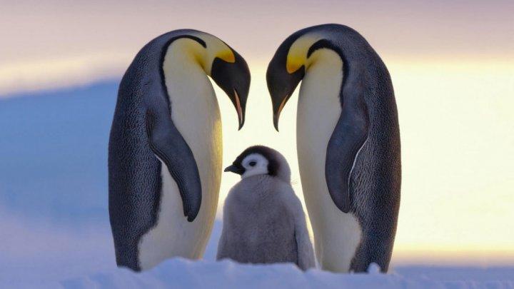 Tragedie greu de imaginat. Zeci de mii de pui de pinguini au murit de foame