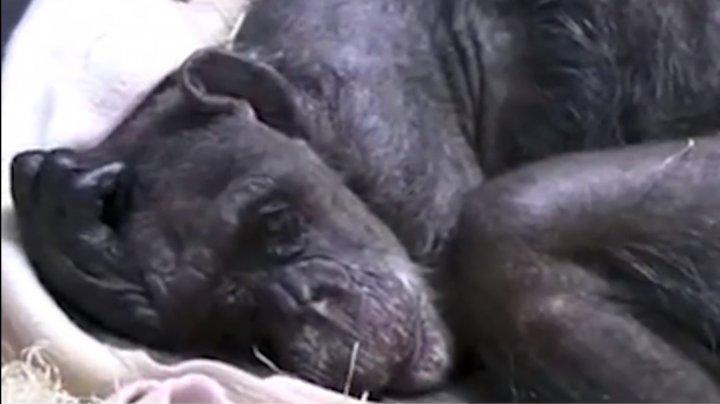 EMOŢII PÂNĂ LA LACRIMI. Gestul uluitor al unui cimpanzeu înainte să moară a ajuns VIRAL PE INTERNET (VIDEO)
