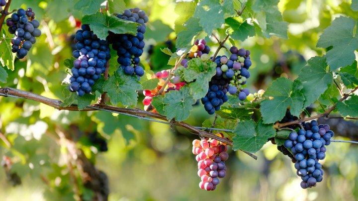 Gospodarii care culeg strugurii în octombrie se vor bucura de bobiţe savuroase şi vin tare