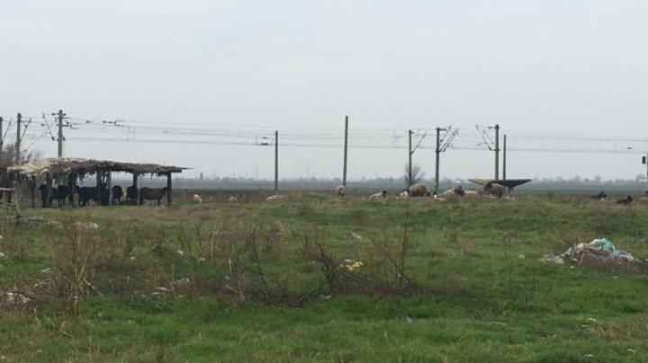 SCANDAL la o stână de oi. Un cioban, ACUZAT că are saivanul prea aproape de baza americană de la Deveselu