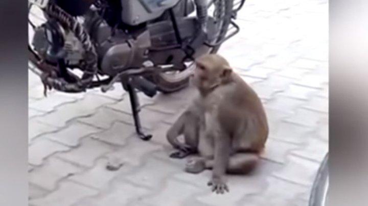 VIRAL PE INTERNET! Momentul în care o maimuța fură și bea benzină (VIDEO)