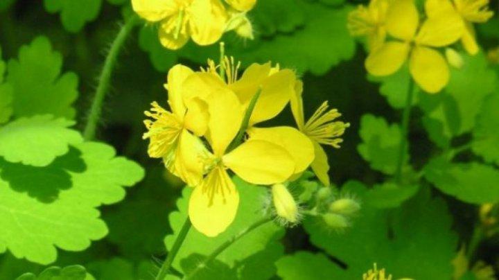 Otrava ascunsă din cea mai puternică plantă medicinală. Mare atenţie cum o consumaţi