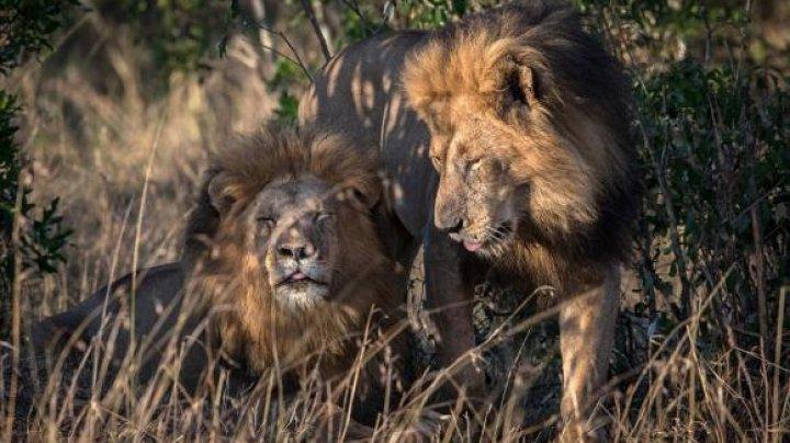VIRAL pe internet. Doi lei HOMOSEXUALI, surprinşi într-un parc din sud-vestul Kenyei