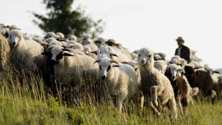 IMAGINI TERIFIANTE! Un șofer a intrat într-o turmă de oi