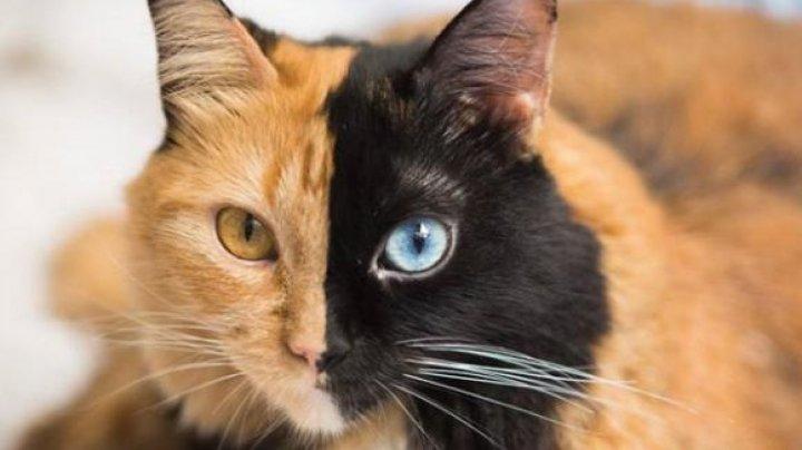 Cea mai frumoasă greşeală a naturii. Cum explică specialiştii înfățișarea felinelor în două culori
