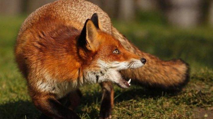 O vulpe a intrat într-un magazin cu produse cosmetice. Nimeni nu a avut de suferit