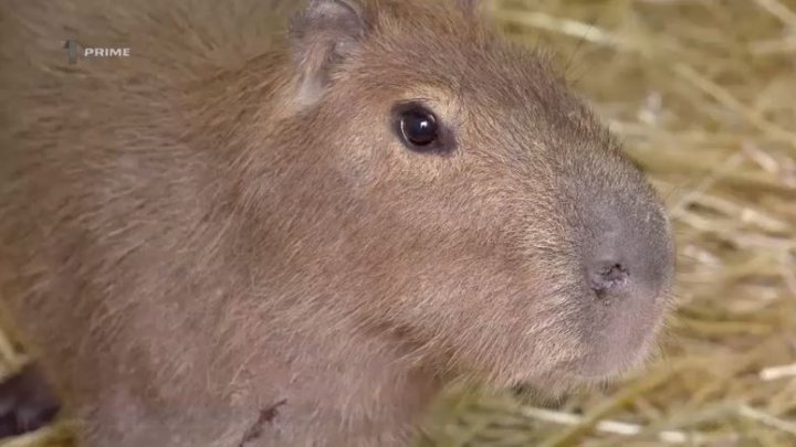 Grădina Zoologică din Capitală are şase locatari noi. Animalele au fost aduse din România