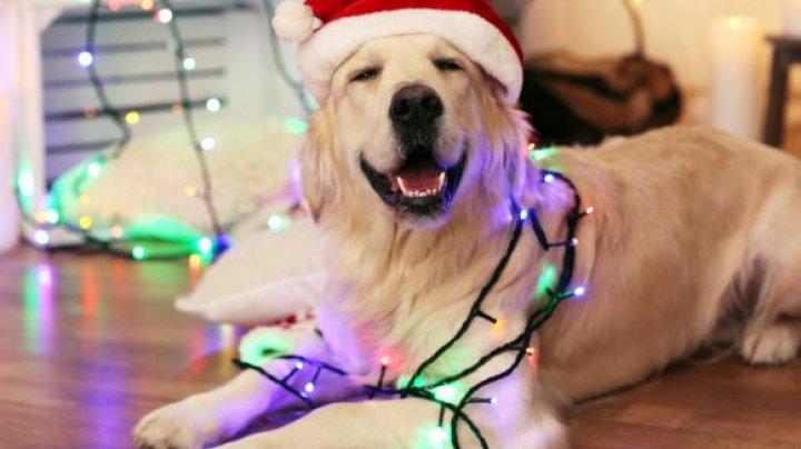 Atenţie! PERICOLUL MAJOR la care sunt predispuși câinii de companie, în perioada sărbătorilor de iarnă