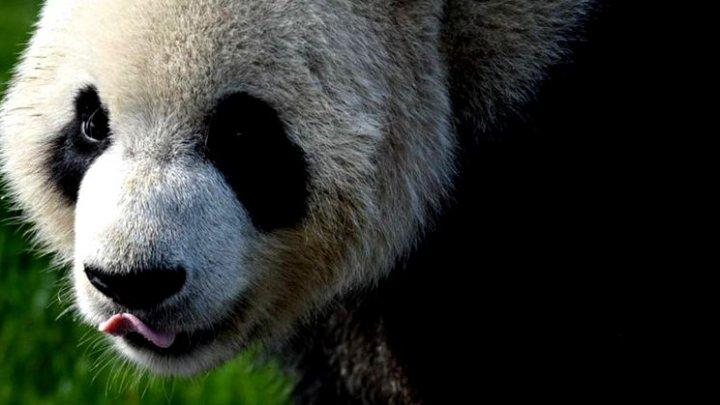 Motivul pentru care cel mai iubit panda de la Zoo Berlin merge cu spatele (VIDEO)