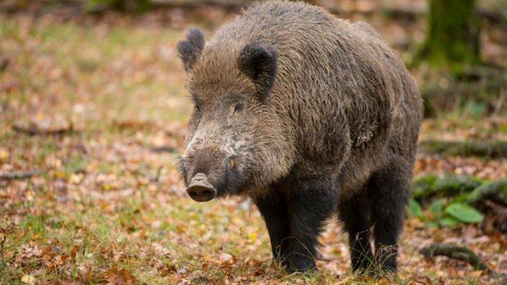 Un porc mistreț radioactiv de la Cernobîl, identificat în apropriere de Moldova