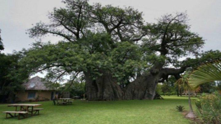 IREAL! Au găsit un copac în vârstă de 1000 de ani. Ce se ascunde în interior