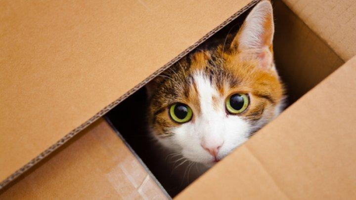 Uluitor! De ce le plac pisicilor atât de mult cutiile