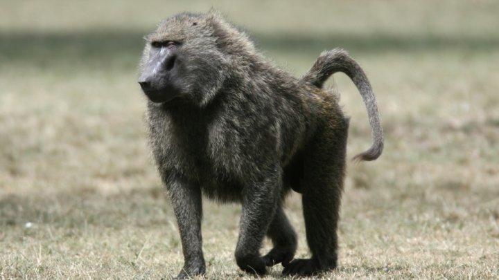 50 de babuini AU EVADAT dintr-o grădină zoologică din Paris