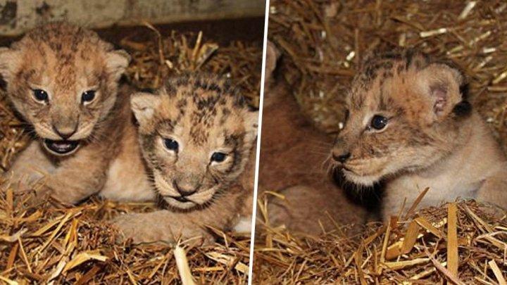Angajaţii unei grădini zoologice din Suedia au ucis nouă pui de lei