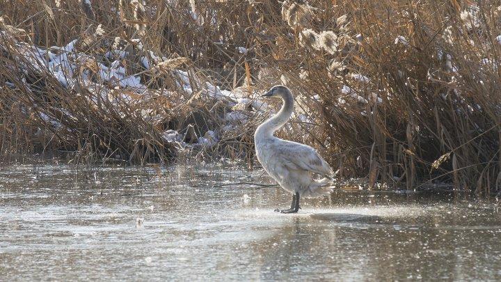 FRUMUSEŢE RARĂ în plină iarnă în parcul Valea Morilor. Un pui de lebădă a atras privirile a zeci de trecători (FOTOREPORT)