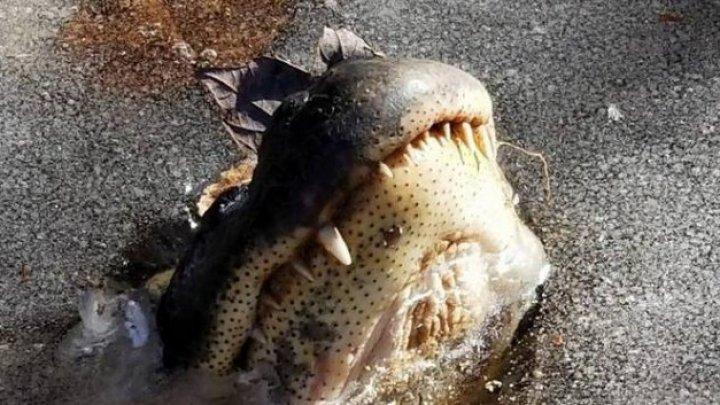 Mai mulţi aligatori, prinși cu botul la suprafaţă într-un lac. Momente incredibile după dezgheț (FOTO/VIDEO)