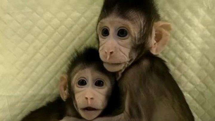 Au fost clonate primele maimuțe în China. Cum arată acestea (VIDEO)