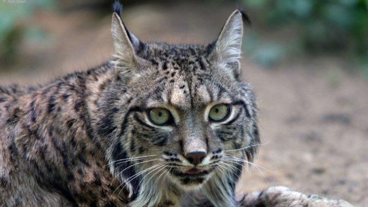 Un râs de o specie rară, surprins într-un parc naţional din România