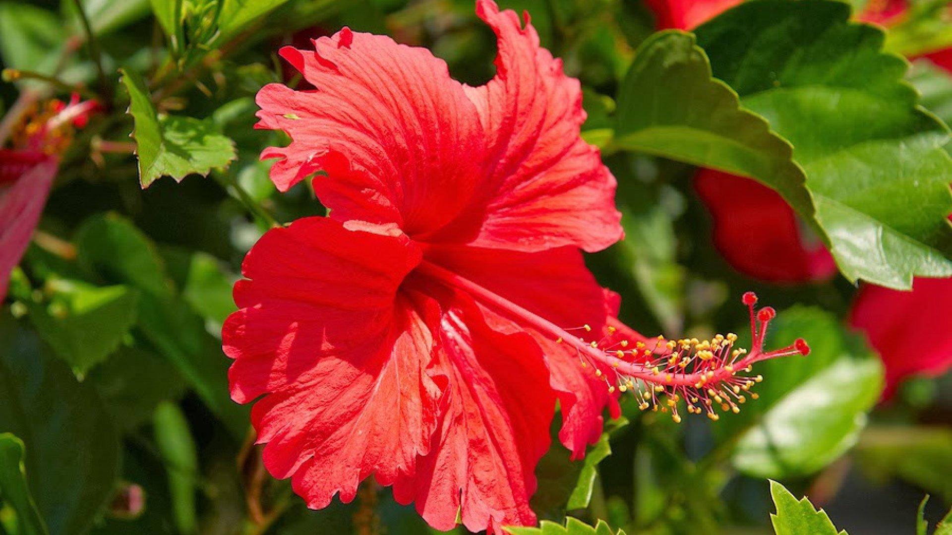 Ceai de hibiscus, beneficii, contraindicații și cum să-l prepari