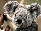 Studiu: Seceta, un pericol pentru animalele sălbatice emblematice din Australia