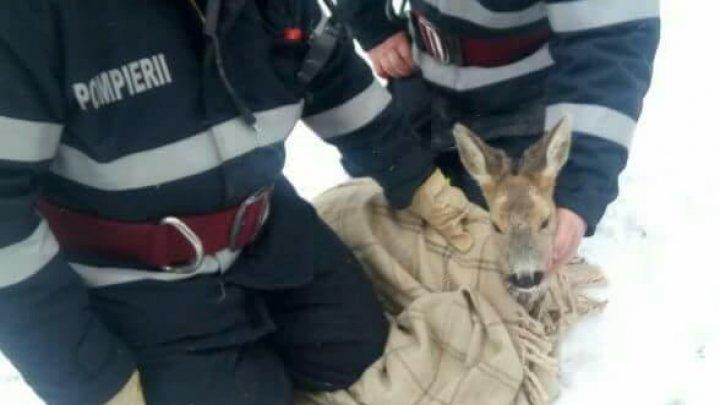 Un pui de căprioară aproape înghețat, salvat de la moarte (FOTO)