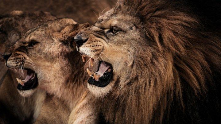 TRAGEDIE! Un braconier a fost mâncat de lei în Africa de Sud