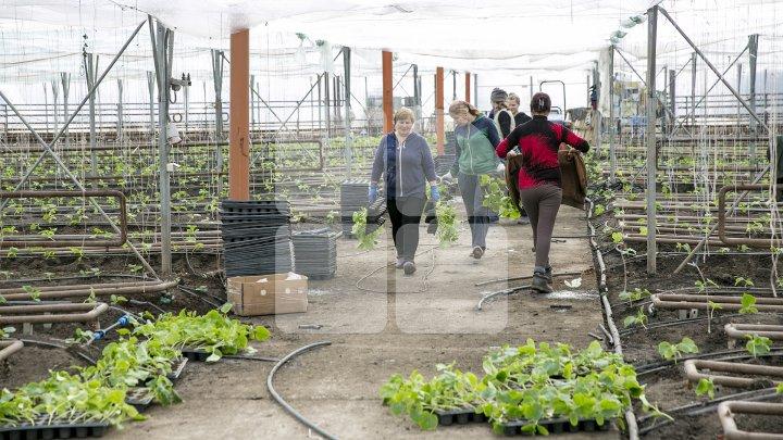 FORFOTĂ ÎN SERELE DIN ŢARĂ. Agricultorii au început deja plantarea legumelor