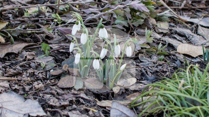 MINUNE de primăvară la sfârşit de iarnă! Ghioceii şi-au făcut apariţia în curtea unui bloc de locuit din Chişinău (FOTO)