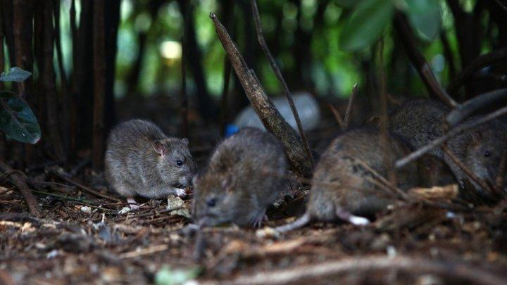 Imaginea Parisului poate fi afectată după ce șobolanii au invadat metropola