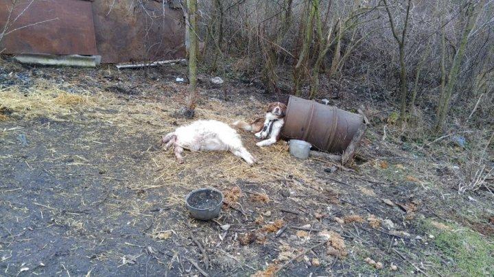 O haită de lupi A ATACAT CAPRELE dintr-o gospodărie din Cimişlia. Proprietarul, în culmea disperării