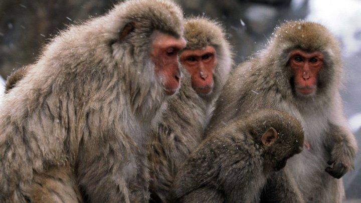 Experimente cu consecințe grave! Trei cercetători germani urmăriţi penal pentru cruzime faţă de maimuţe