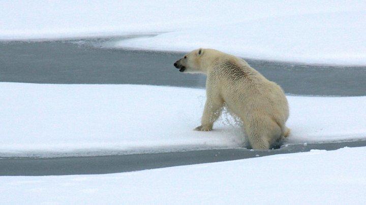Urşii polari, în pericol! Nu găsesc suficiente foci pentru a-şi potoli foamea, iar problema se agravează