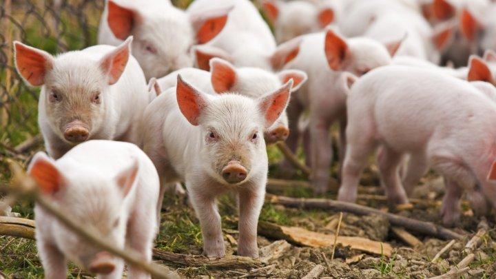 Inteligența artificială este folosită la creșterea porcilor în China. Cum funcţionează aceasta