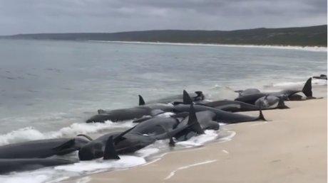 Peste 135 de balene au murit după ce au eşuat pe o plajă din Australia de Vest (VIDEO)