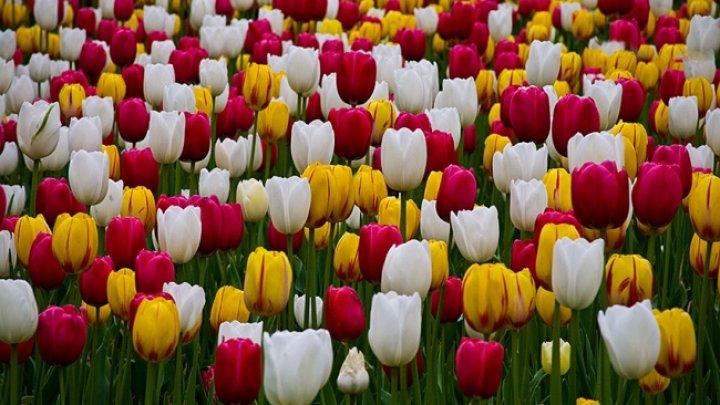Olanda: Milioane de flori sunt distruse zilnic din cauza coronavirusului