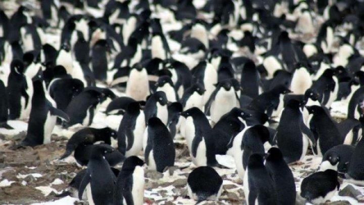 O mare colonie formată din 1,5 milioane de pinguini, descoperită în Antarctica, pe Insula Danger