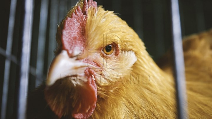 Răsfăţ boieresc. Găinile, noua obsesie a bogaților, sunt hrănite cu somon și friptură