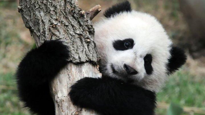 Grădina zoologică din Edinburgh suspendă programul de reproducţie a urşilor panda. Care este motivul