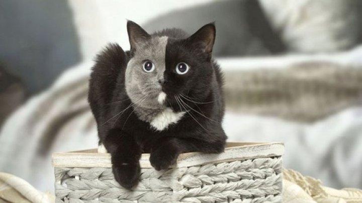 Exemplar extrem de rar în întreaga lume. Cum arată cea mai drăgălaşă pisică cu două feţe (FOTO)