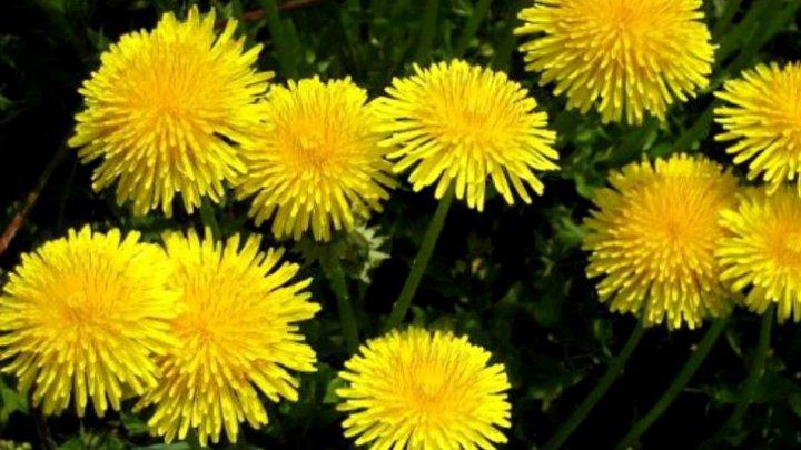 Trebuie să știi asta! Planta minune care tratează cancerul, hepatita şi alte boli
