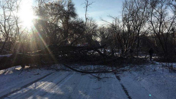 IARNA FACE RAVAGII! Un copac de pe strada Muncești din Capitală a căzut în mijlocul străzii și a blocat circulația pe carosabil
