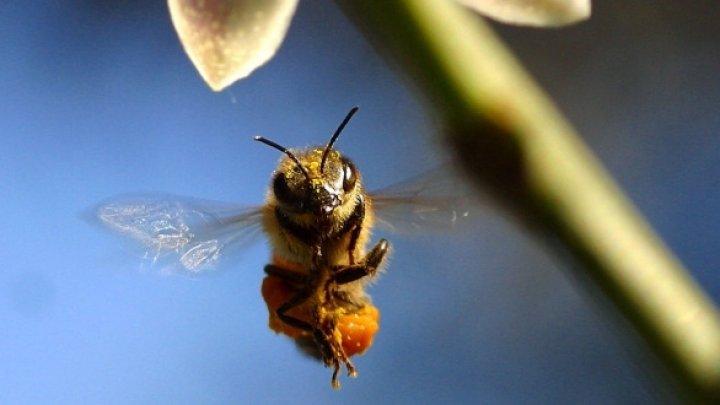 Studiu: Schimbările climatice, o ameninţare pentru albine din cauza reducerii numărului de flori