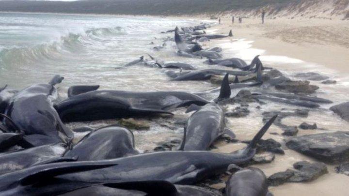Aproape 40 de balene au murit pe o plajă din Noua Zeelenadă. Care este motivul